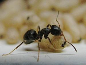 Ameisen sind unermüdliche Arbeitstiere