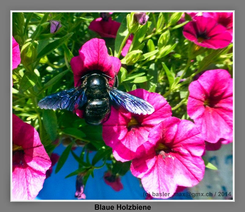 Blaue Holzbiene auf meinen Blumen