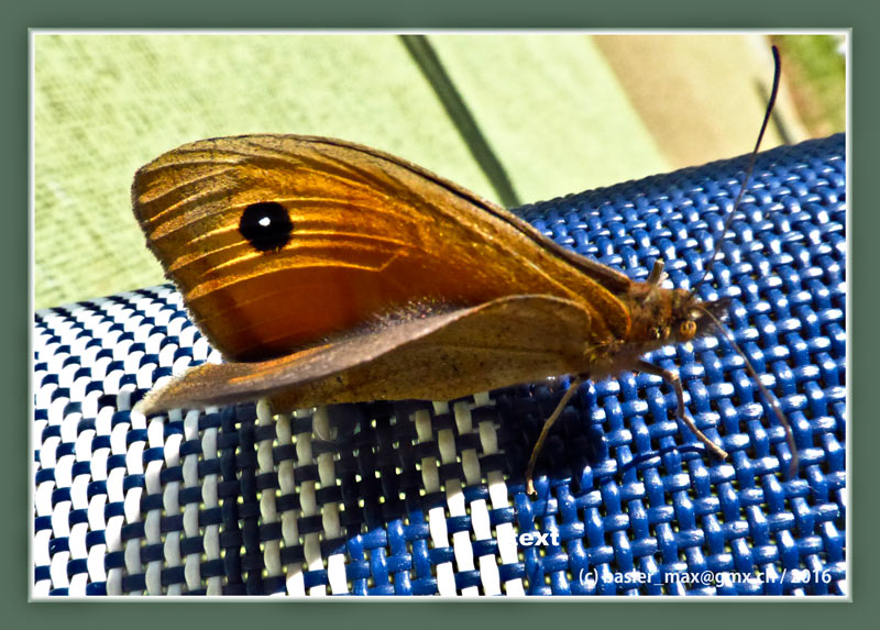 Istrien SolarisSchmetterling