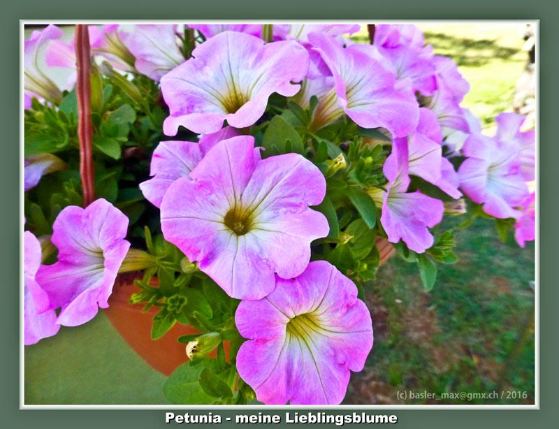 Istrien Solaris Blumen Flora Petunia