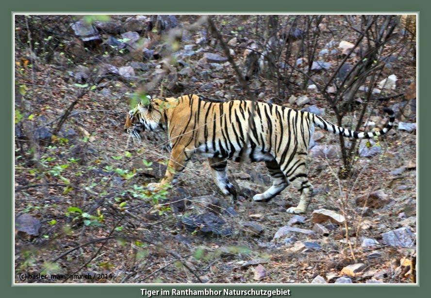 Ranthambor Naturschutzgebiet: Tiger
