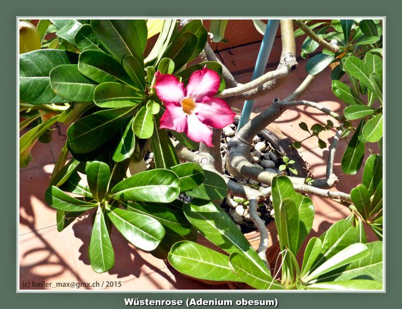Wüstenrose (Adenium obesum)
