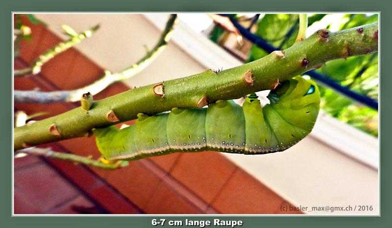 Grüne Raupe an Wüstenrose (Adenium obesum)