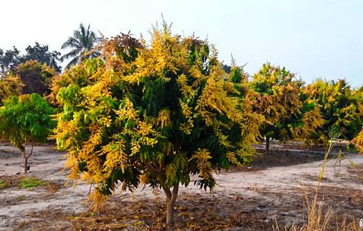 Mango-Bäume in voller Blüte