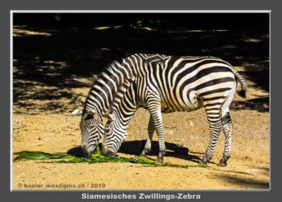 Dieses Zwillings-Paar ist eine zoologische Sensation. Mehr darüber in meinem Bericht