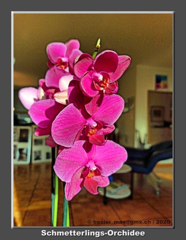 Thailand Schmetterlings-Orchidee