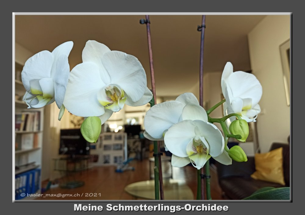 Schmetterlings-Orchidee