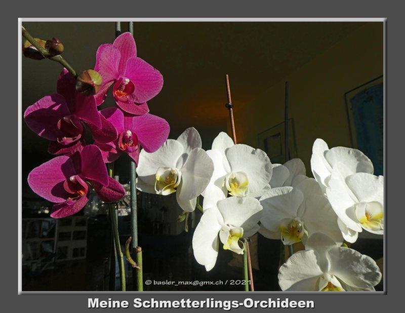 Butterfly Schmetterlings Orchideen
